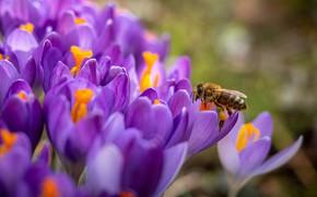 Picture macro, flowers, bee, spring, crocuses, lilac, bokeh
