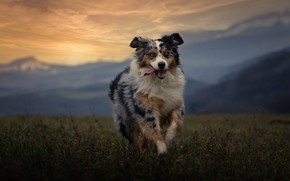 Picture field, language, look, face, mountains, nature, dog, running, Aussie
