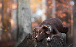 Picture autumn, forest, look, face, leaves, trees, branches, nature, Park, background, stump, portrait, dog, lies, brown, …