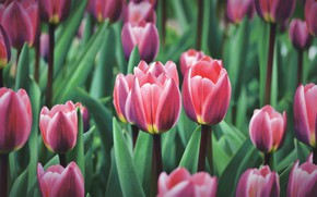 Picture greens, leaves, flowers, spring, tulips, red, buds, flowerbed, a lot, striped