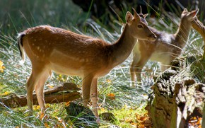 Picture leaves, light, nature, vegetation, deer, fawn, fawn