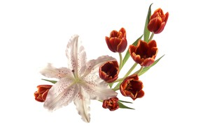Picture Lily, tulips, red, white background