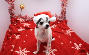 Picture Christmas, dog, cute animals