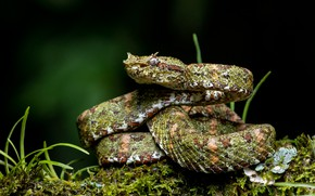 Picture grass, background, moss, snake, Cacocholia bothrops Schlegel
