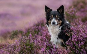 Picture look, face, dog, Heather, The border collie