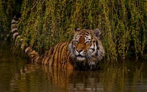 Picture look, face, leaves, water, light, branches, nature, tiger, pose, bathing, tail, wild cat, pond