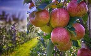 Picture Tree, Leaves, Garden, Apple, Apples