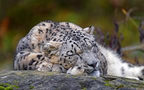Picture face, nature, sleep, sleeping, lies, IRBIS, snow leopard