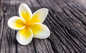 Picture flower, petals, white, flower, wood, plumeria, plumeria