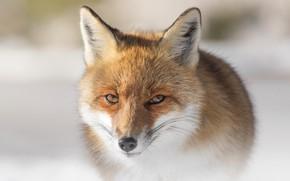 Picture winter, look, face, snow, close-up, nature, pose, portrait, Fox
