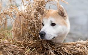 Picture grass, face, dog, Akita inu