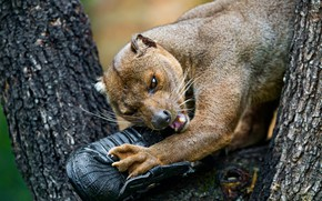 Picture animals, face, nature, tree, shoes, teeth, paws, claws, zoo, nibbles, fossa