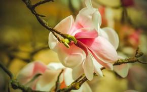 Picture flowers, blur, spring, bokeh, Magnolia