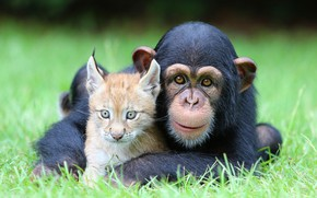 Picture cat, grass, eyes, look, nature, children, pose, smile, background, mood, glade, portrait, positive, baby, monkey, …