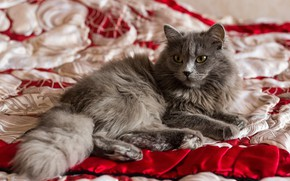 Picture cat, white, cat, look, red, pose, comfort, grey, background, paws, fluffy, blanket, bed, lies, smoky