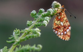 Picture macro, butterfly, insect, fritillary of evfrosina