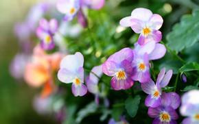 Picture flowers, blur, pink, Pansy, lilac, bokeh, violet, viola