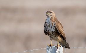 Wallpaper birds, predator, Buzzard, Sarich