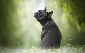 Picture dog, bokeh, doggie, French bulldog
