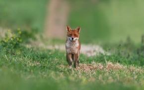 Picture summer, grass, look, glade, Fox