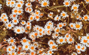 Picture flowers, glade, chamomile, white, a lot, bokeh, chamomile field