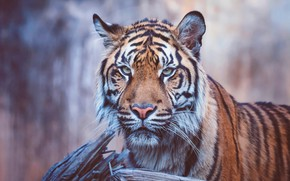 Picture eyes, look, face, nature, tiger, background, stump, portrait, wild cat