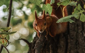 Picture leaves, nature, tree, animal, protein, bokeh, animal, rodent