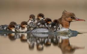 Picture water, birds, reflection, ducklings, crossing, duck, Chicks, Common merganser
