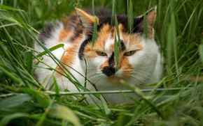Picture field, cat, summer, grass, cat, look, face, nature, pose, glade, portrait, spikelets, ears, red, green …