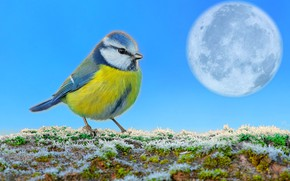 Wallpaper the sky, grass, snow, the moon, titmouse, first