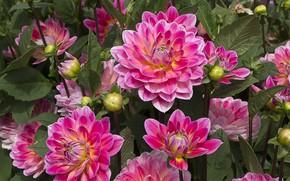 Picture pink, petals, dahlias