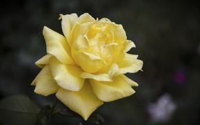Picture flower, rose, yellow flower, Matt