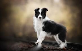 Picture dog, railroad, puppy
