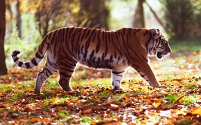 Picture autumn, forest, leaves, light, trees, nature, tiger, Park, foliage, profile, walk, is, bokeh