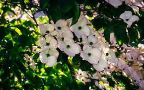Picture leaves, branches, Bush, white, flowering, dogwood