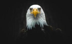 Picture look, close-up, the dark background, bird, portrait, eagle, black background, predatory, bald eagle