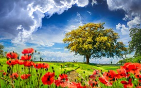 Picture the sky, grass, clouds, nature, Mac, sky, nature, clouds, poppies