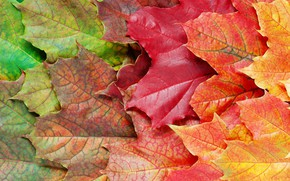 Picture autumn, leaves, background, colorful, rainbow, maple, autumn, leaves, maple
