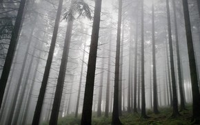 Picture forest, trees, nature, fog