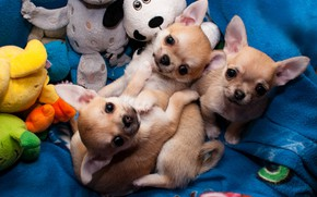 Picture dogs, look, toys, puppies, puppy, three, kids, trio, Chihuahua, Chihuahua, three puppies