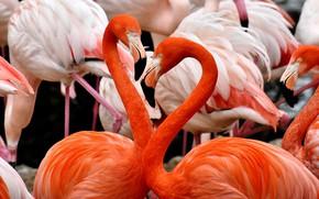 Picture birds, feathers, beak, pink, Flamingo