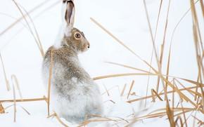Picture winter, snow, nature, hare