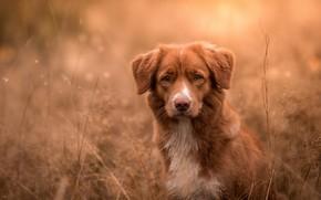 Picture autumn, grass, look, face, nature, background, dog, red, bokeh, Retriever, Nova Scotia duck tolling, Nova ...