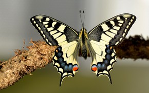 Picture macro, background, butterfly, wings, branch, insect, swallowtail
