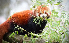 Picture leaves, branches, tree, red Panda, red Panda