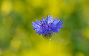Picture flower, blue, blue, one, green background, cornflower, cornflowers, cornflower