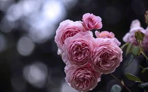 Picture flowers, Bush, roses, petals, Bud, pink