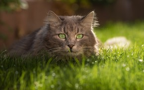 Picture cat, grass, cat, look, grey, grey