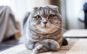 Picture legs, looking at the camera, Scottish fold