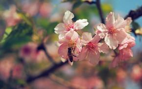 Picture flowers, branches, bee, spring, Sakura, pink, flowering, bokeh